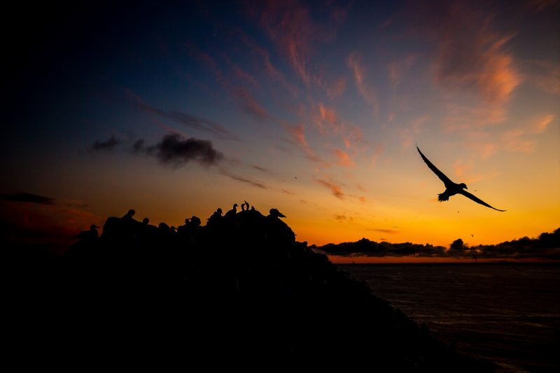 Gannet silhouette against a sunset