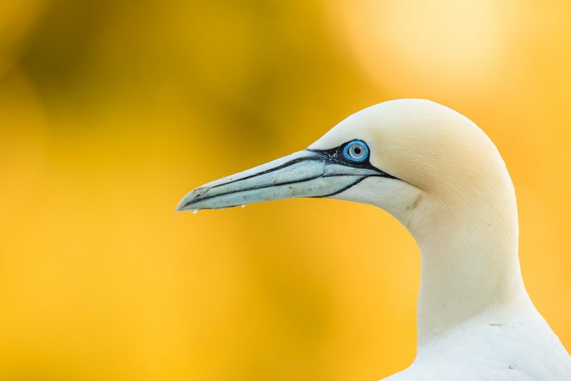 Gannet portrait yellow background