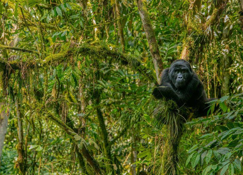 Gorilla in canopy
