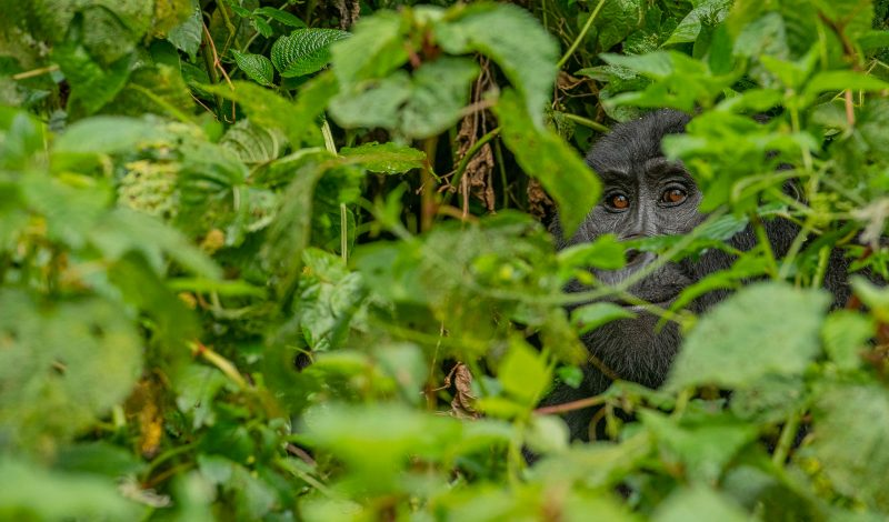 Gorilla within foliage