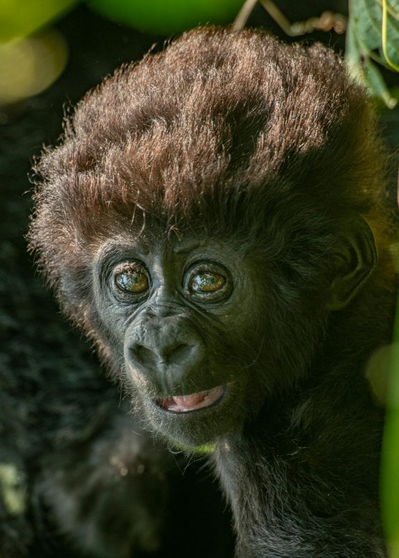 Young gorilla potrait