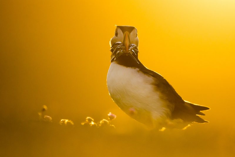 puffin at golden hour