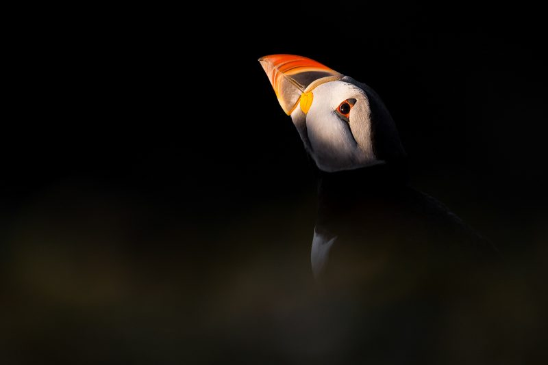 Creative puffin photography