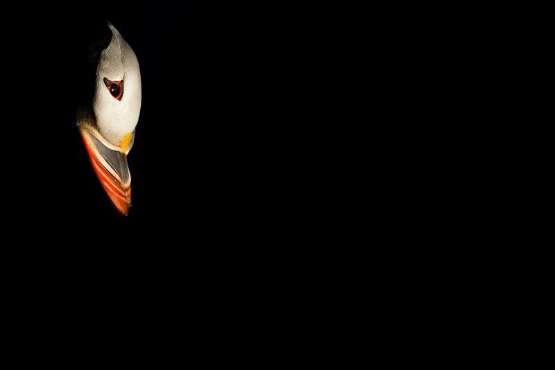 Low key puffin portrait