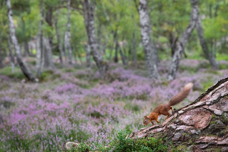 Red squirrel and heather