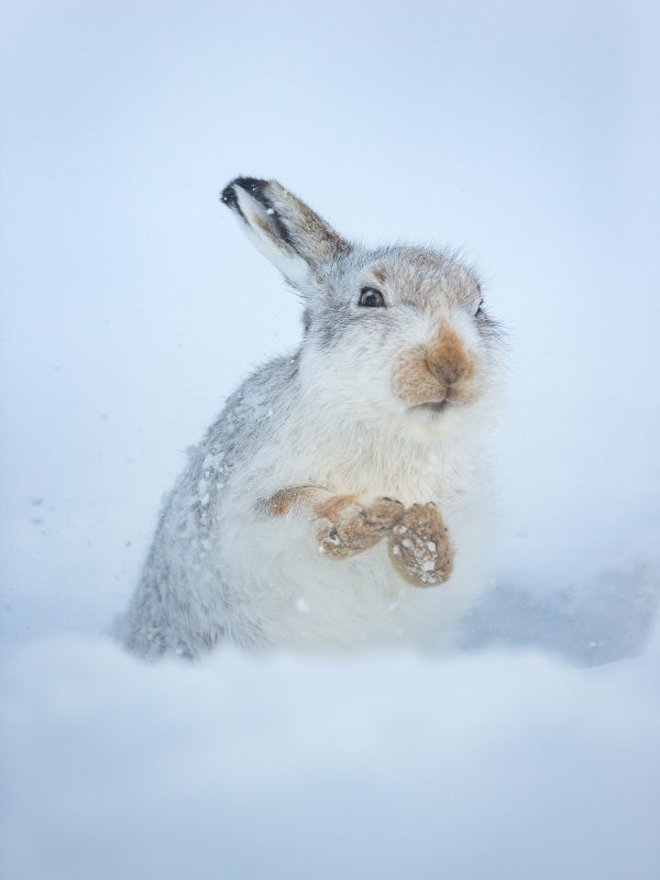 Mountain hare cleaning
