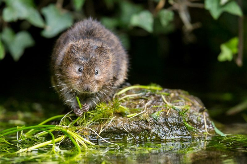 Water vole eating