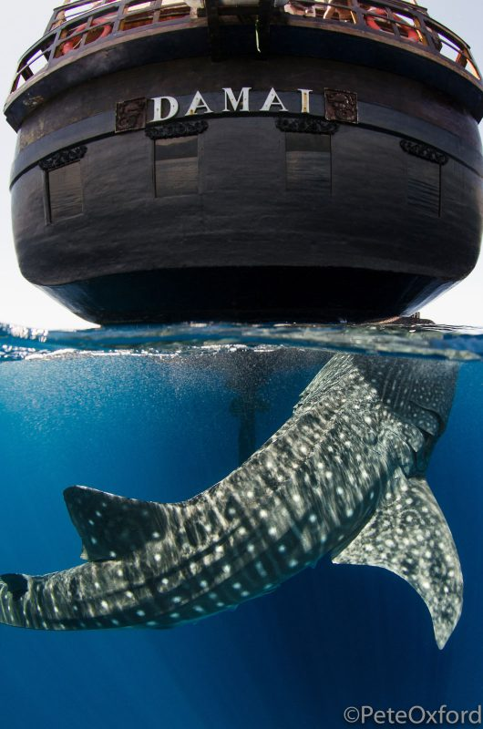 Underwater split shot of whale shark and ship