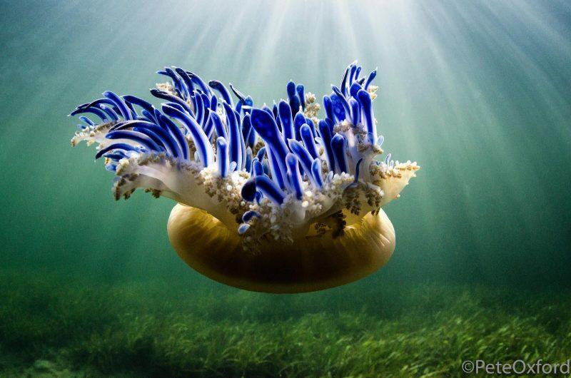 Jellyfish photographer underwater