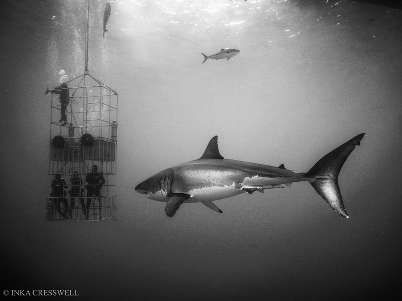 Cage diving with a shark