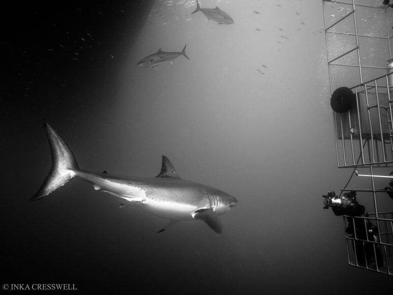 black and white shark photo