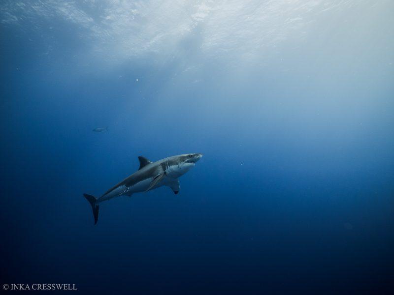 Shark underwater photo