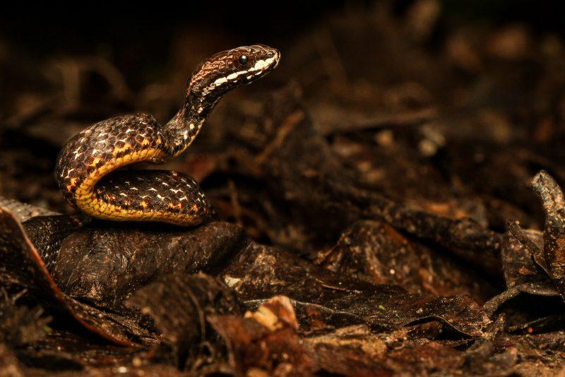 Mock Viper