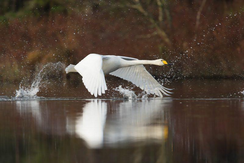 Swan running across water