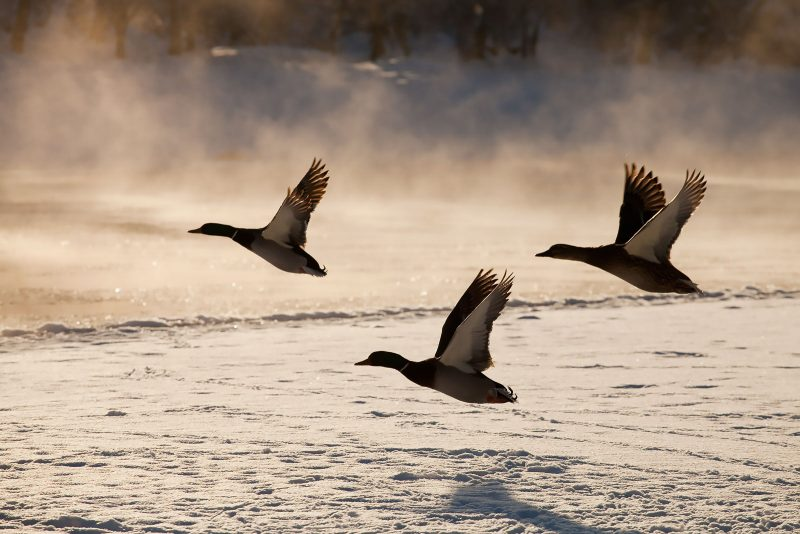 Ducks flying, with mist behind