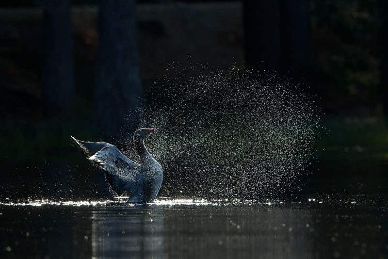 Goose flapping