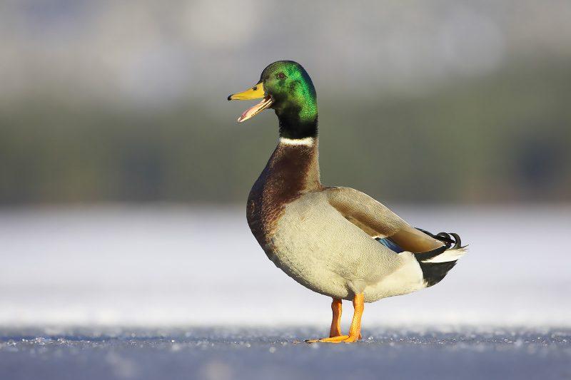 Mallard on frozen lake