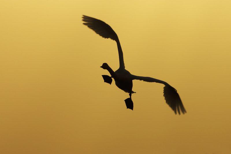 Flying wildfowl