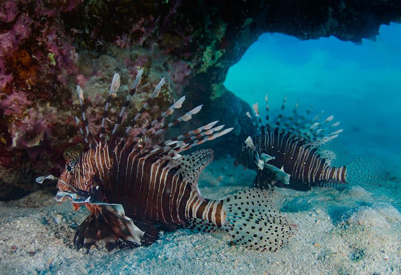 lion fish after edit