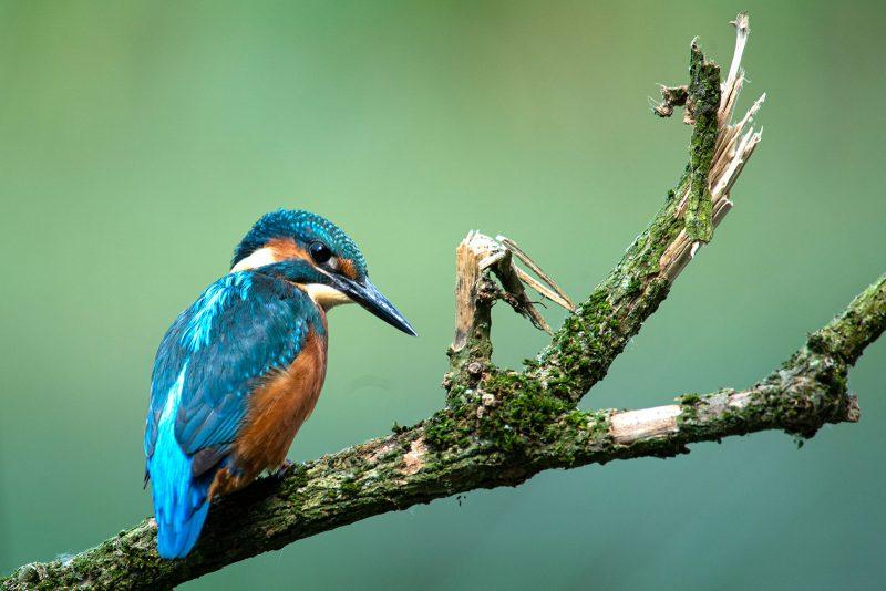 Kingfisher on broken branch