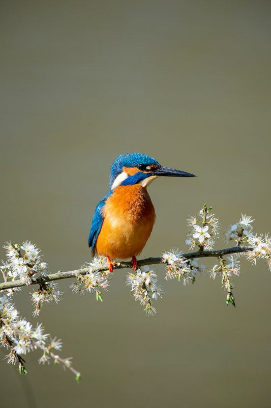 Kingfisher on flowery perch