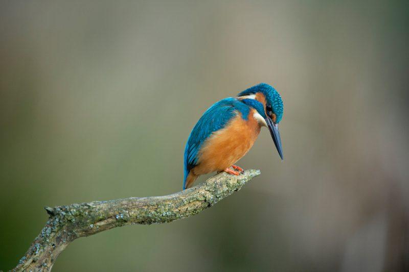 Kingfisher looking down