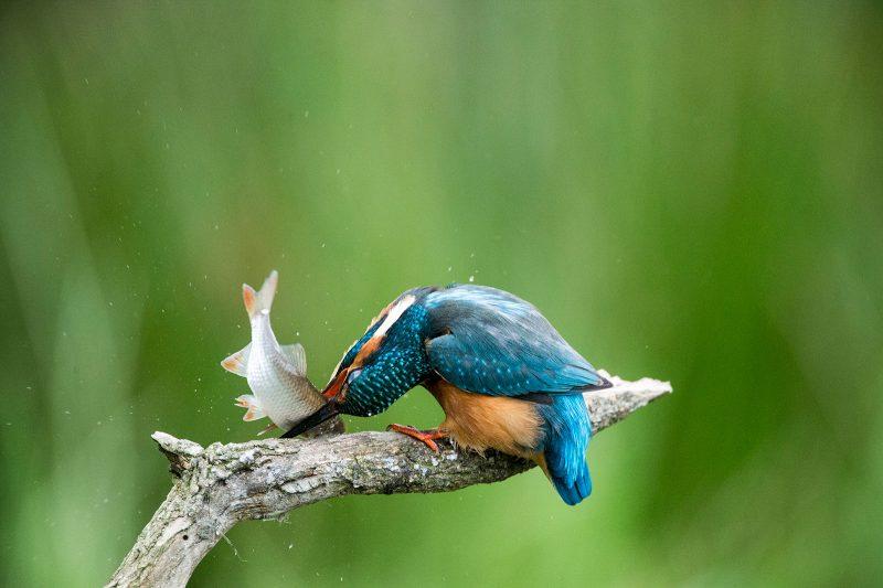 Kingfisher hitting fish on branch