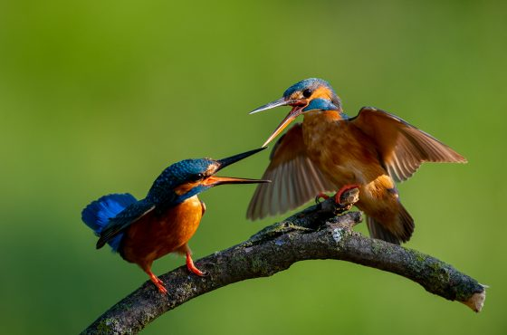 how to photograph kingfishers-2