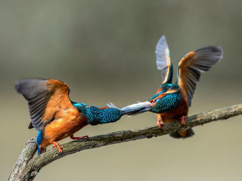 Kingfishers passing fish