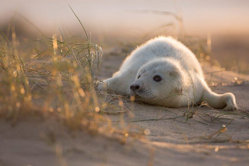 Backlit seal pup