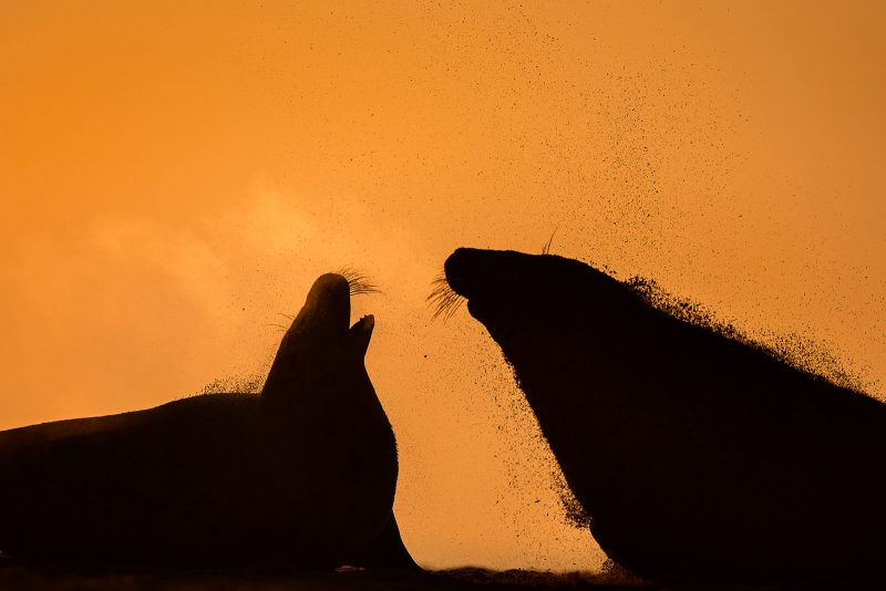 Fighting Seals silhouetted