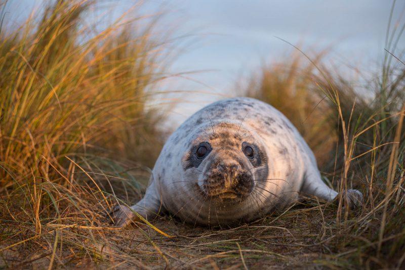 Seal in Marram Grass