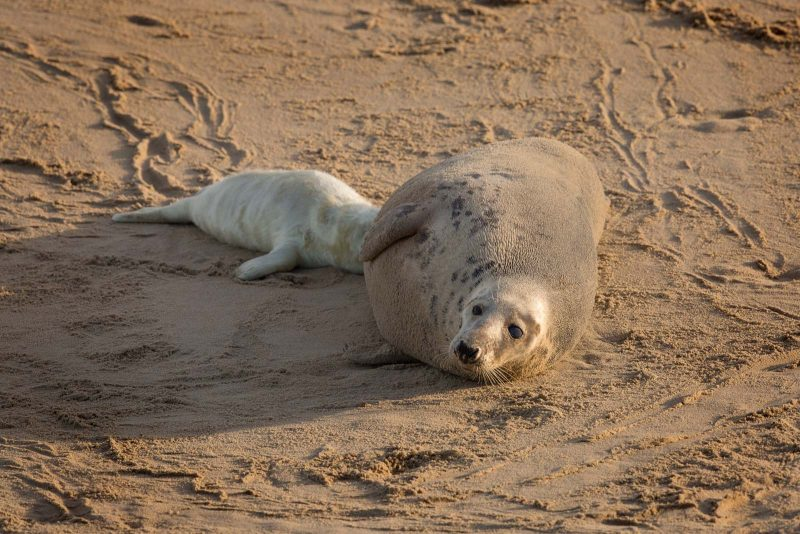 Grey seal and pup from above