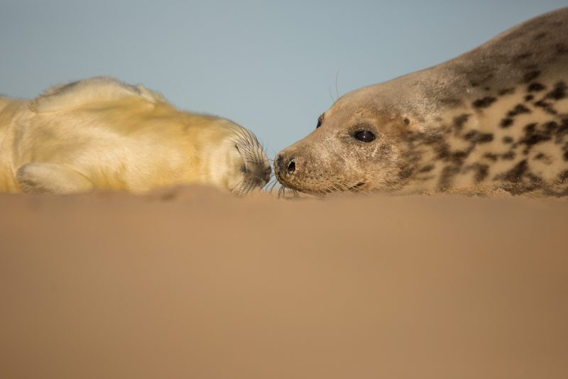 Grey Seal and pup from a low angle