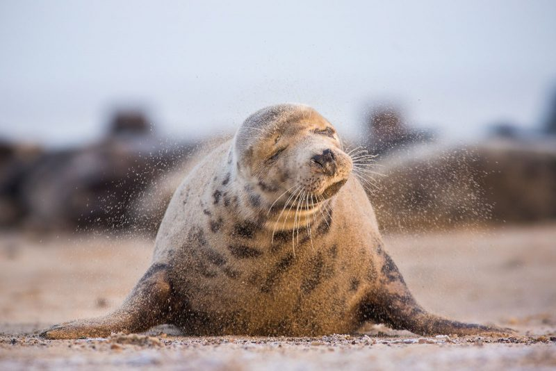 Grey seal shaking off sand