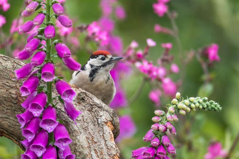 Woodpecker in a garden