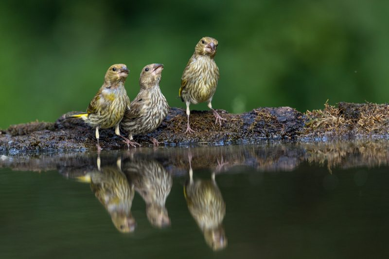 Birds reflected in a bird bath