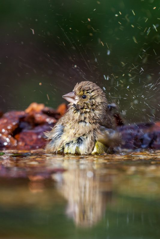 Bird washing in a bird bath