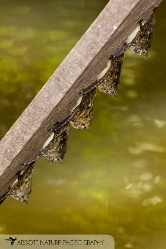 White-lined Bats over water