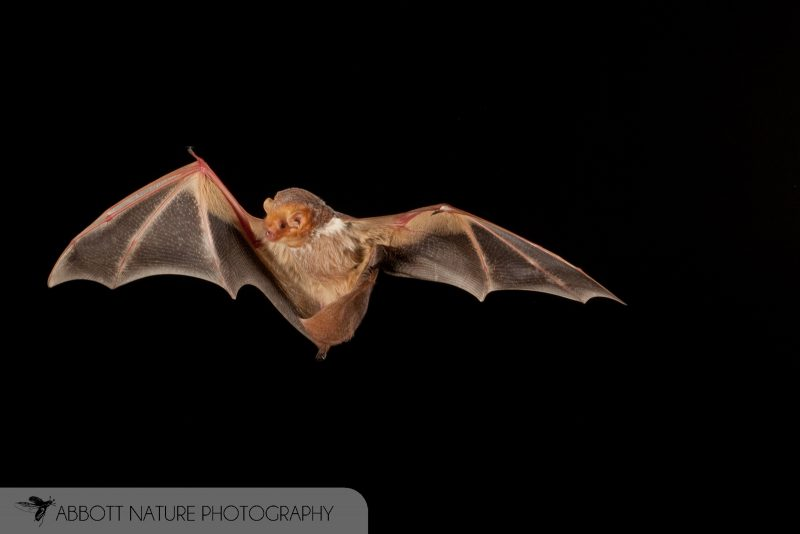Eastern Red Bat Photograph
