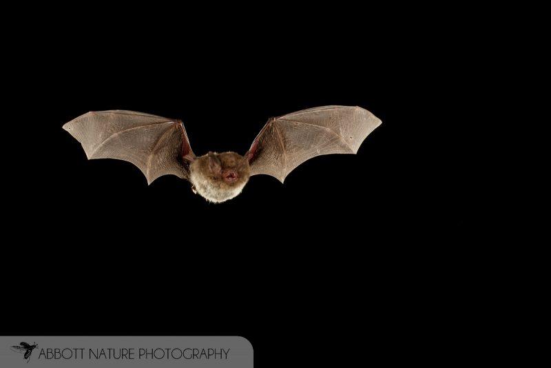 Southeastern Myotis Bat Photography