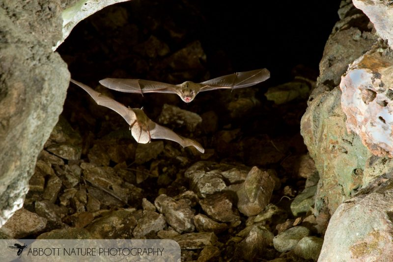 Mexican Brown Bat in cave