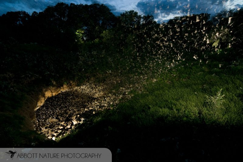 Mexican Free-tailed Bat colony at bracken cave Texas