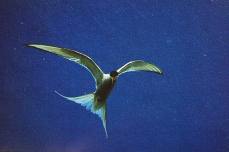 Arctic tern photographed on film