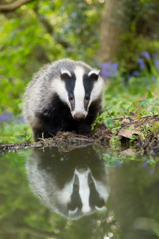 Badger reflection