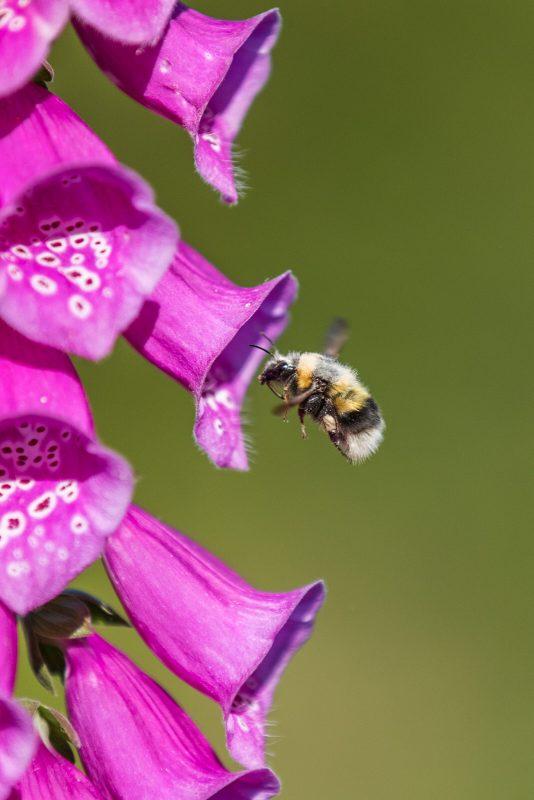 Bumblebee on foxglove flower