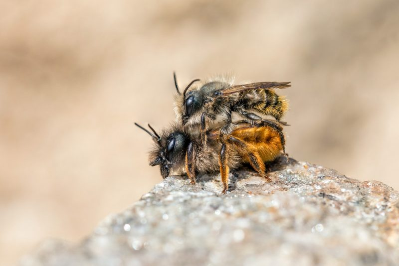 A pair of mason bees mating