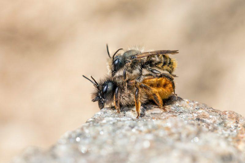 A pair of mason bees mating