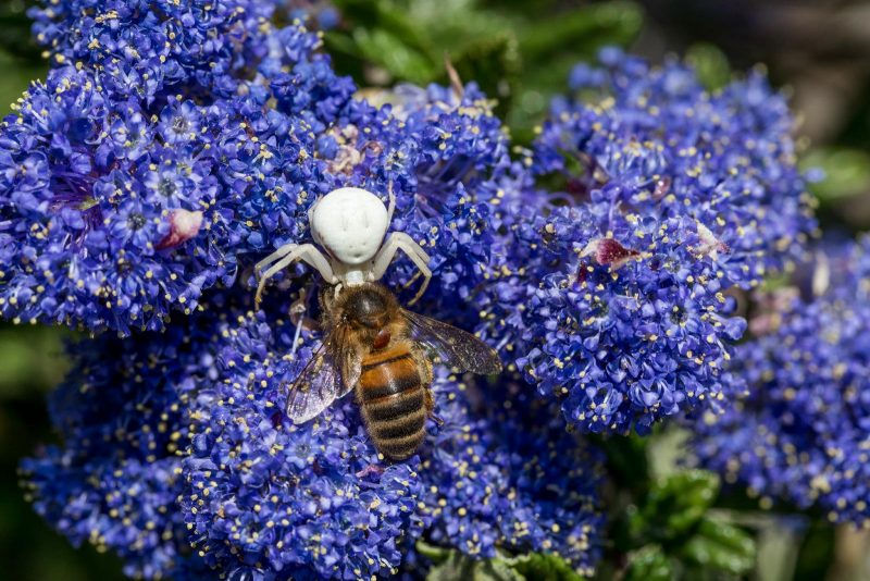 White spider and bee