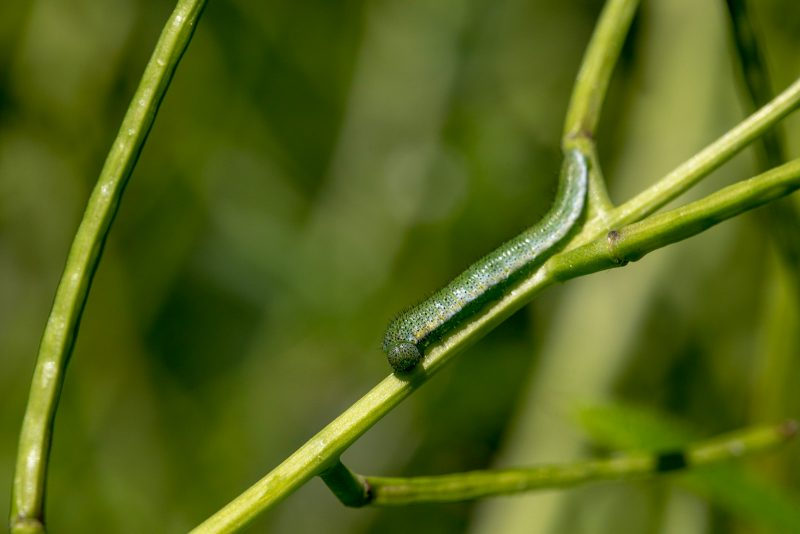 Caterpillars of the orange-tip butterfly